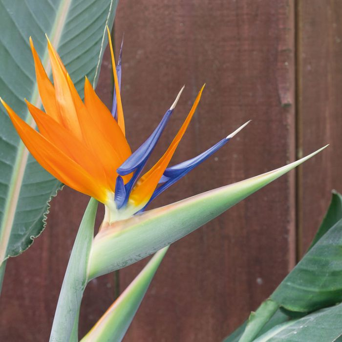 Bird of Paradise  No] 1491900200P - Flower Power