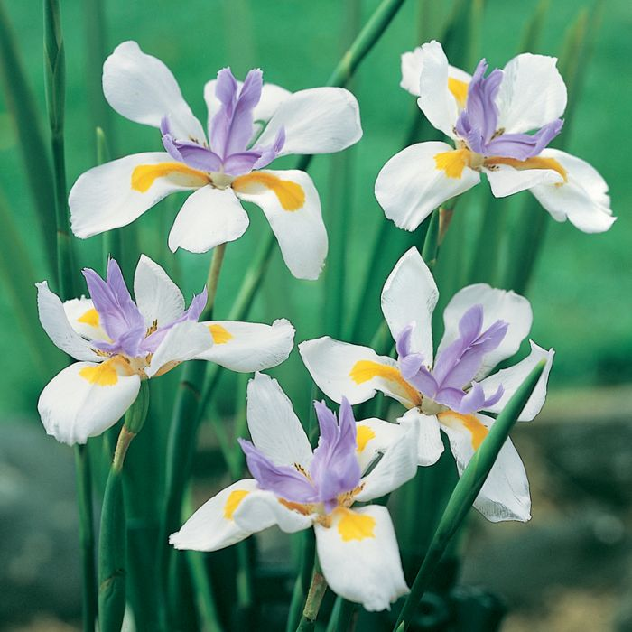 Dietes Grandiflora color No 1495700140P