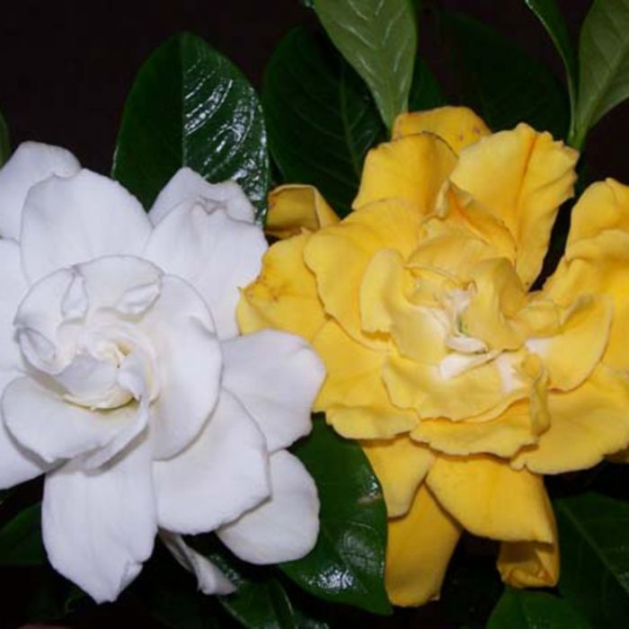 Gardenia Whitegold color No 1524280125P