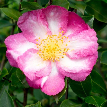 Camellia Sasanqua Paradise Sarah  No] 1524800190P - Flower Power