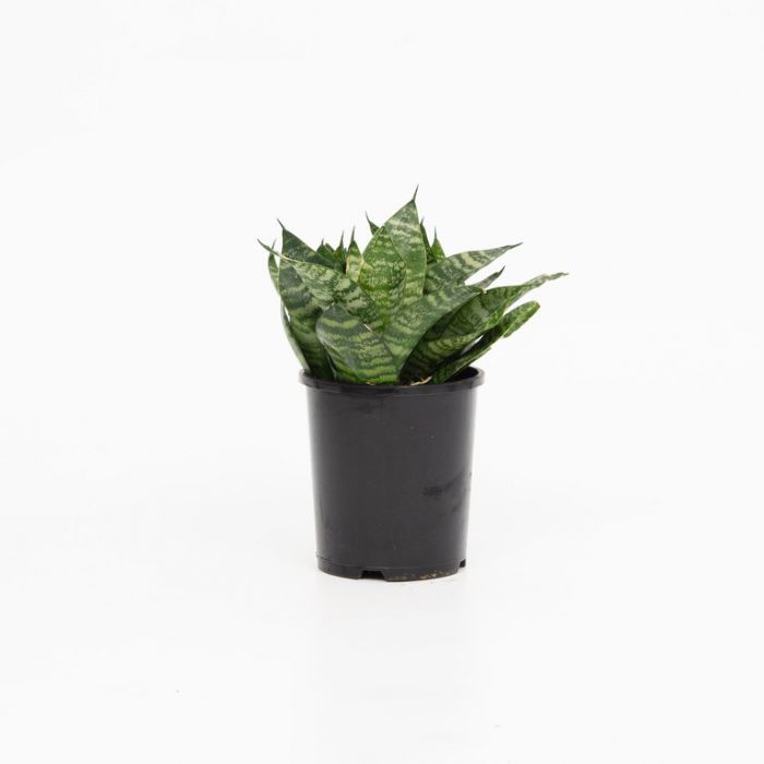 Bird's Nest Sansevieria color No 1561910140