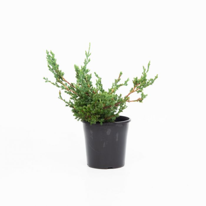 Conifer Nana color No 1574820200