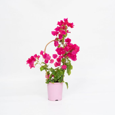 Bougainvillea Bambino Jazzi  No] 1579350140P - Flower Power