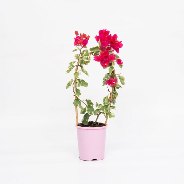 Bougainvillea Bambino Jellibene color No 1579360140P