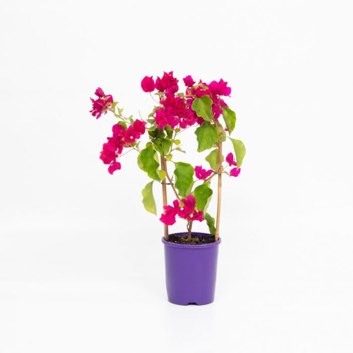 Bougainvillea Bambino Maudi color No 1579380140P