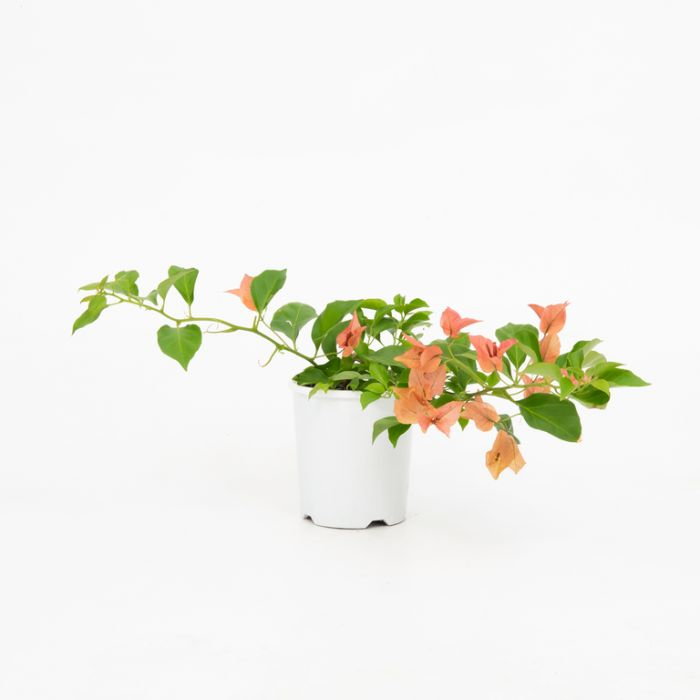 Bougainvillea Bambino Pedro color No 1579420140P