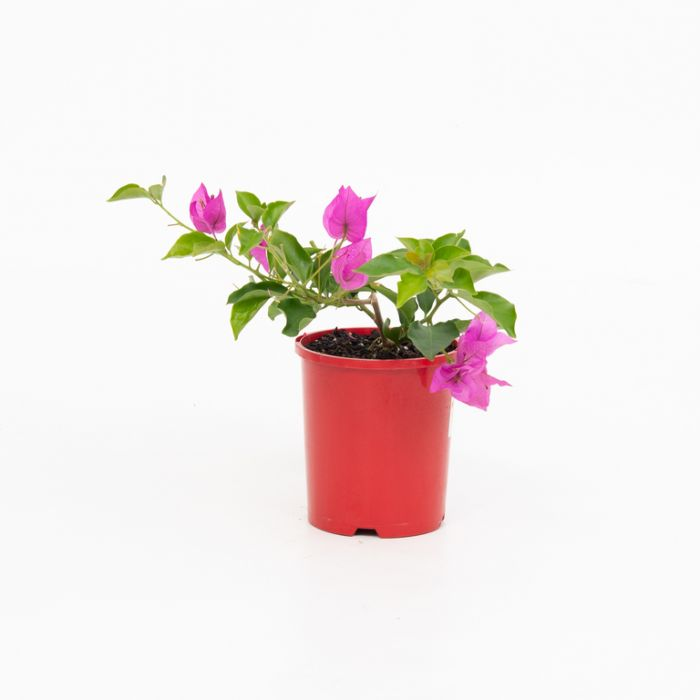 Bougainvillea Bambino Zulu color No 1579450140P