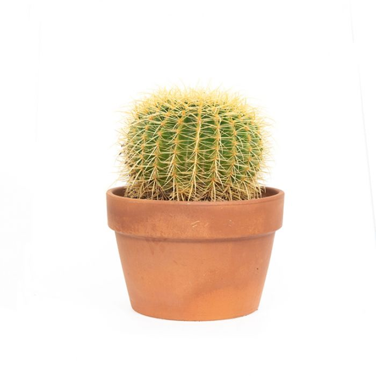 Echinocactus Grusonii Terracotta Pot color No 1581529999