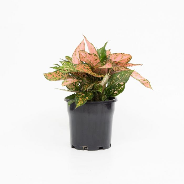 Aglaonema Lady Valentine  No] 162636P - Flower Power