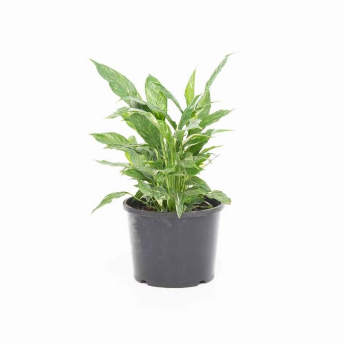 Spathiphyllum Domino color No 1637740200P
