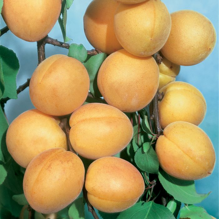 Apricot Moorpark Dwarf  No] 1638310250 - Flower Power