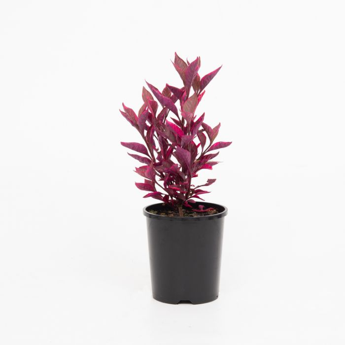 Alternanthera Brazillian Red Hot color No 1639500140P