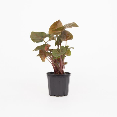 Syngonium Maria color No 1655910070P