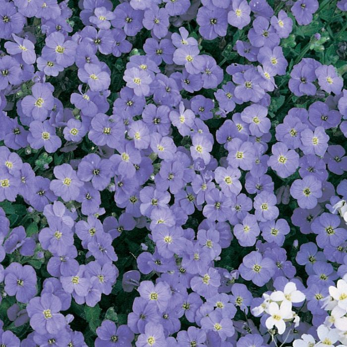 Aubrieta Axcent Light Blue color No 1673680140