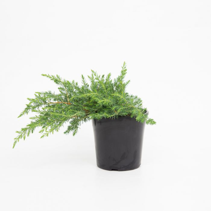 Conifer Shore Juniper color No 1675600200