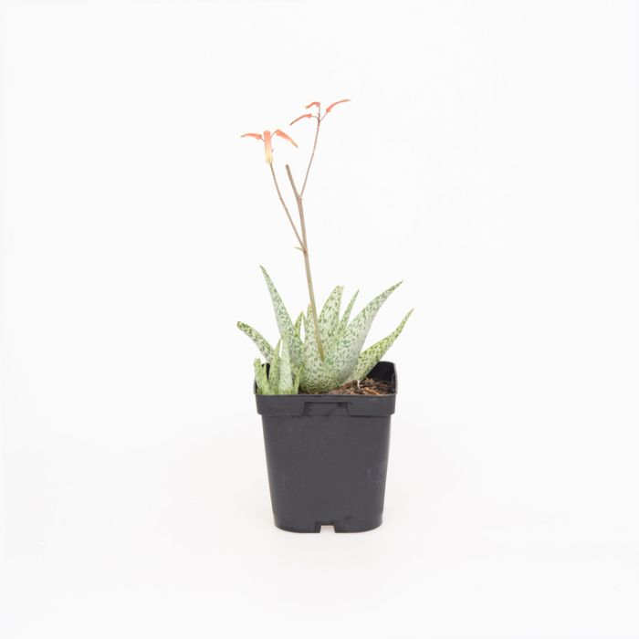 Aloe Quicksilver  No] 1687690110 - Flower Power