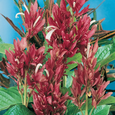 Brazilian Red Cloak  No] 168904P - Flower Power