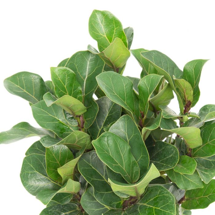 Bambino Fiddle Leaf Fig color No 1697240130P