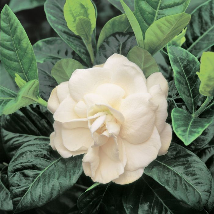 Gardenia Magnifica color No 1703900120P