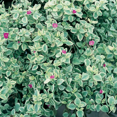 Aptenia cordifolia 'Variegata' Hanging Basket  No] 174397 - Flower Power