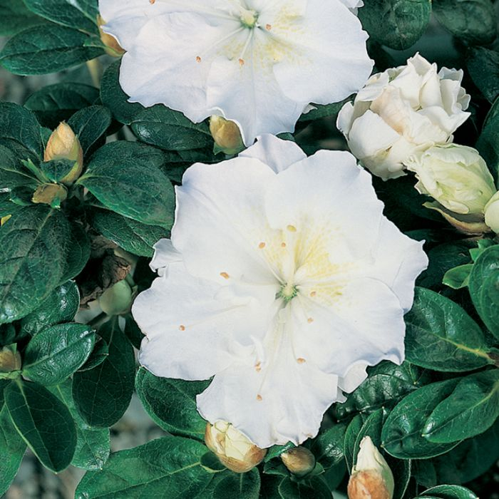 Azalea White Bouquet  No] 174869 - Flower Power