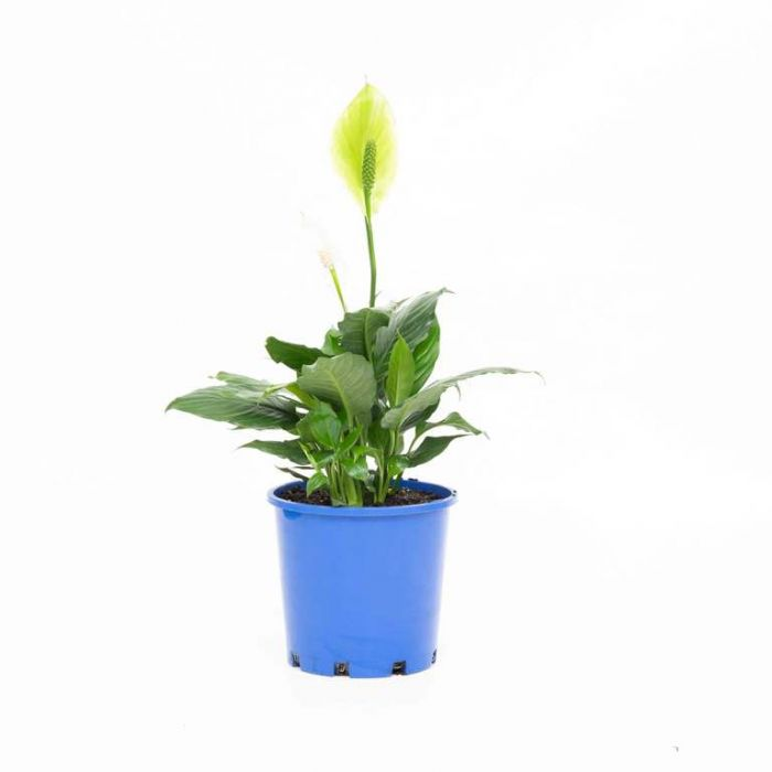 Spathiphyllum Mojo color No 178604