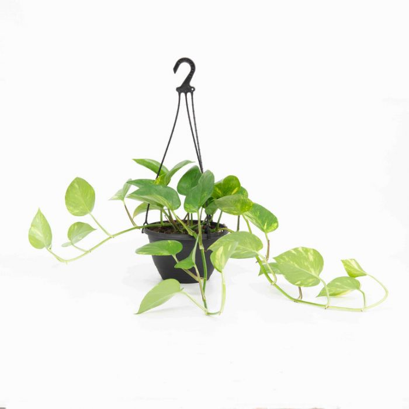 Devil's Ivy Hanging Basket  No] 179663 - Flower Power