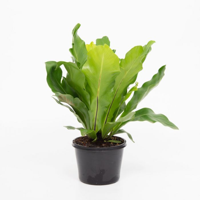 Asplenium Norfolk Gem color No 179764