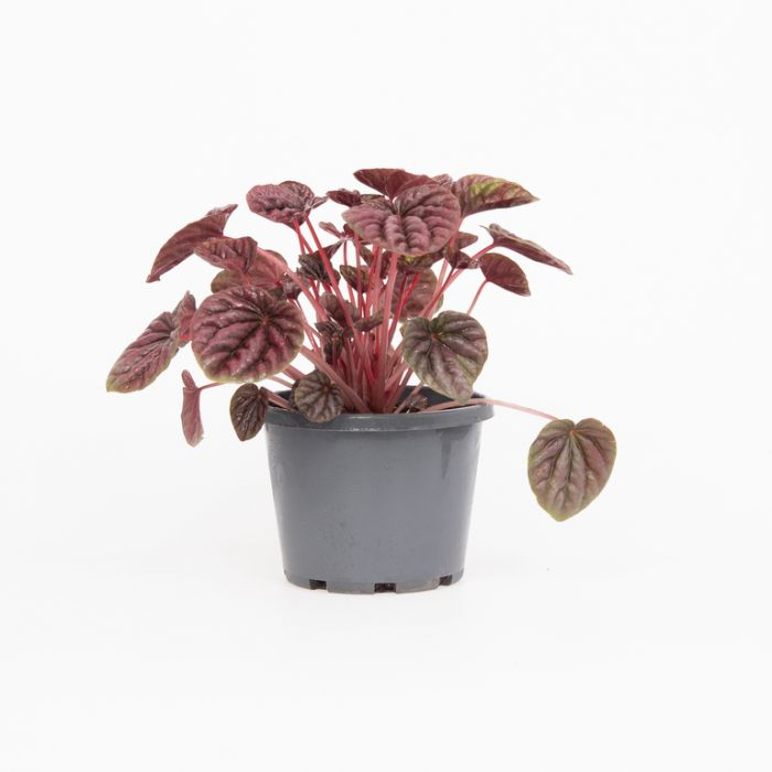 Peperomia Schumi Red color No 180364