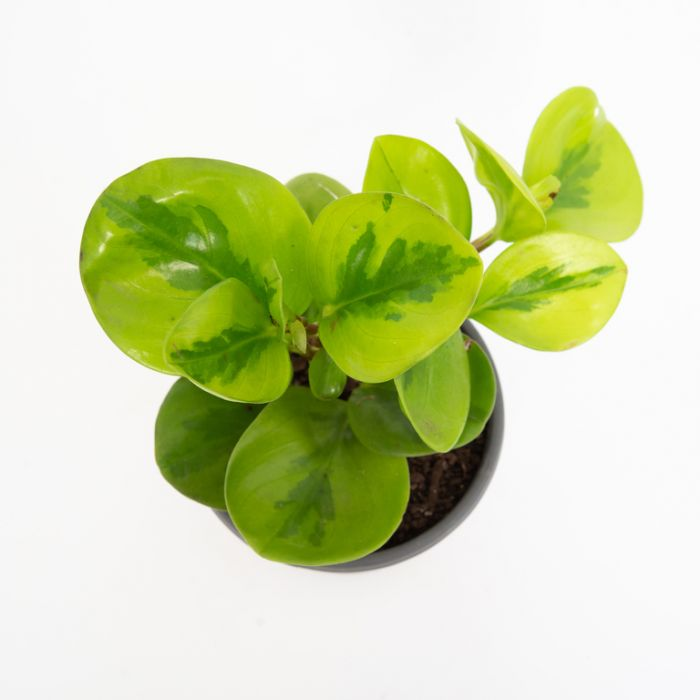 Peperomia Lime Green color No 180365