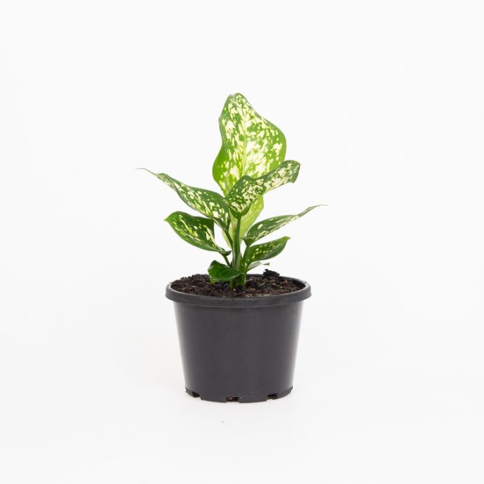 Aglaonema 'Eileen' color No 180368P