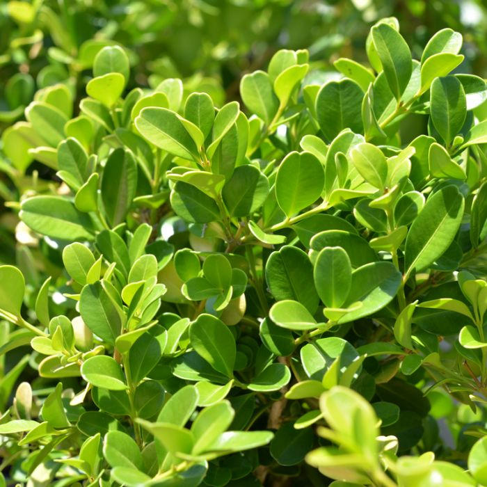 Buxus Microphylla  No] 2066700190P - Flower Power