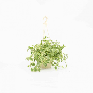 Peperomia Variegated Hanging Basket  No] 2092200020 - Flower Power