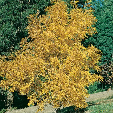 Fraxinus Excelsior Aurea color No 2243800300