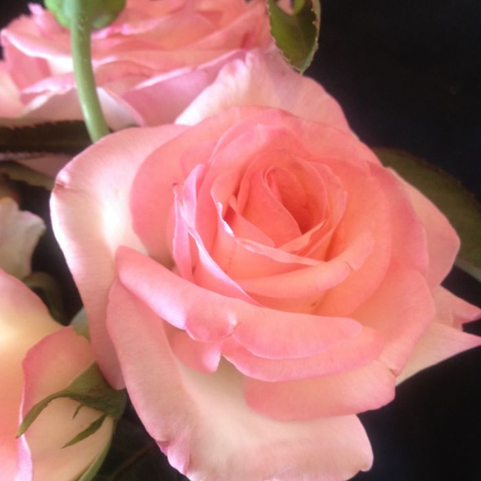 Princess De Monaco Rose color No 2716100200P