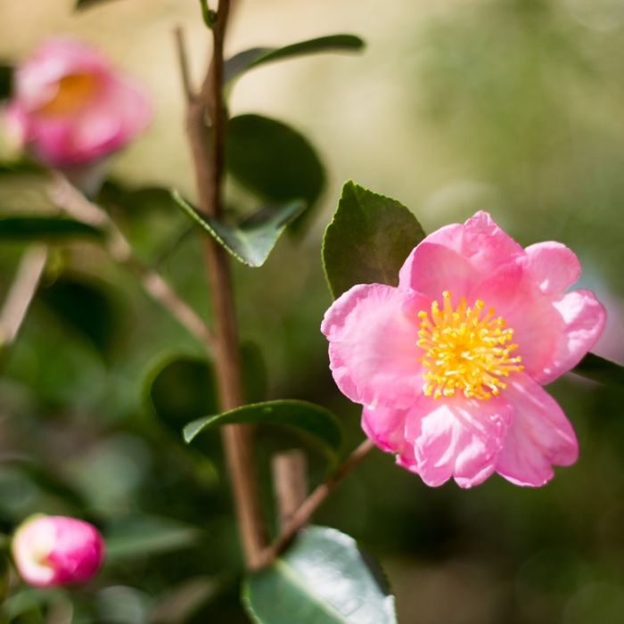 Camellia Sasanqua Plantation Pink color No 2861000190P