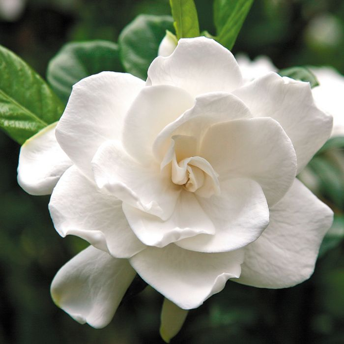 Gardenia Aimee Yoshiba color No 2956400120P