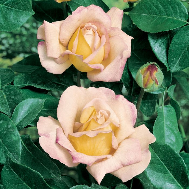 Charles Austin Rose  No] 3631600200 - Flower Power