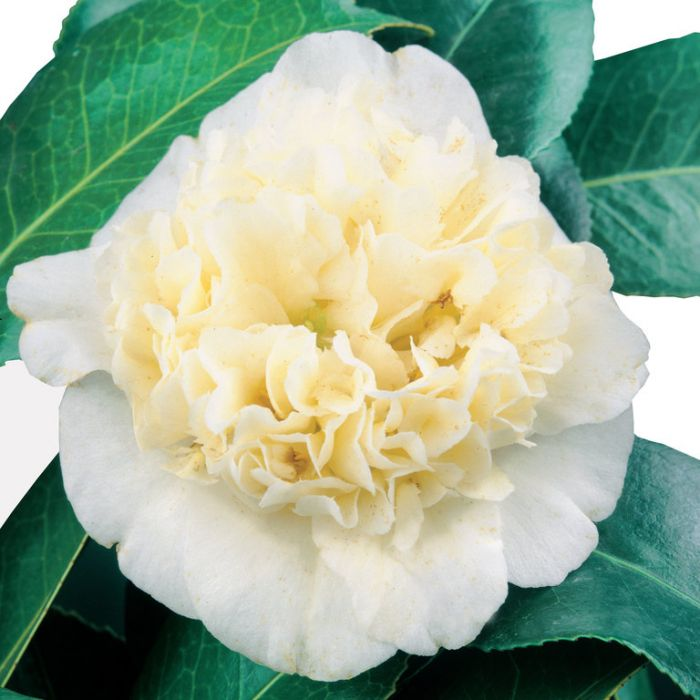 Camellia Japonica Brushfield's Yellow  No] 4247400190P - Flower Power