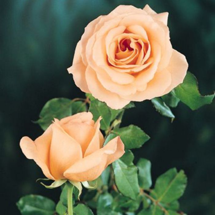 Apricot Nectar Rose color No 4781900200