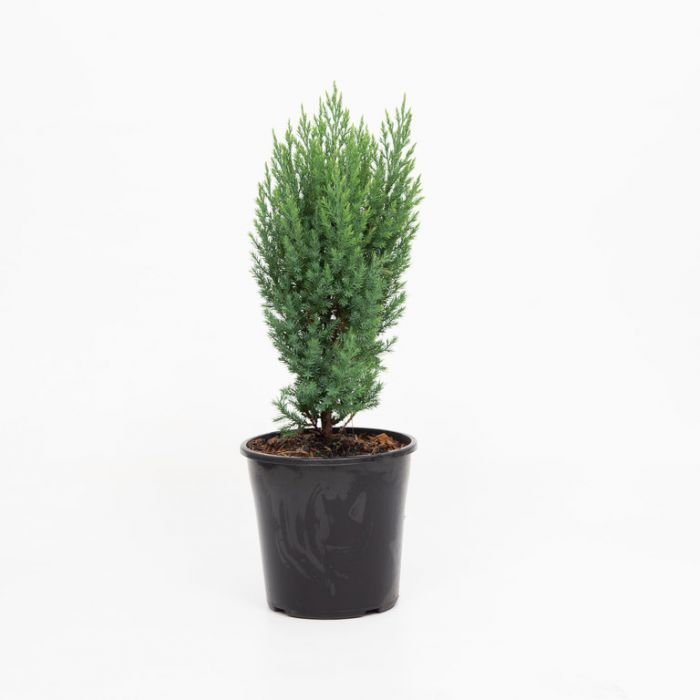 Conifer Blue Point  No] 5206500200 - Flower Power