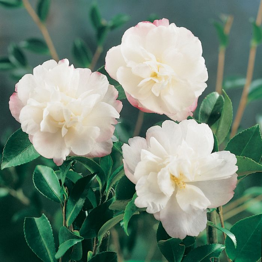 Camellia Sasanqua Pure Silk color No 5302600190P