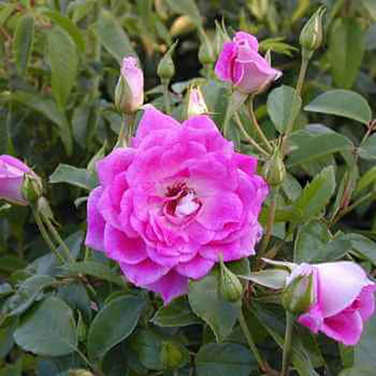Brilliant Pink Iceberg Rose color No 5778400200