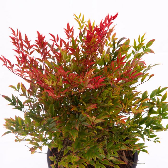 Nandina Gulf Stream color No 6317900200P