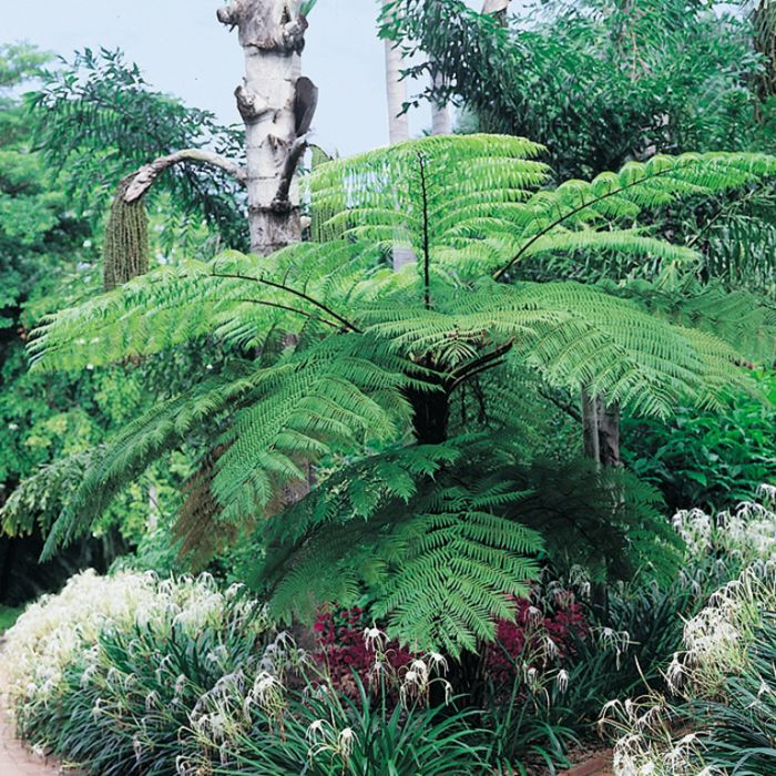 Lacy Tree Fern color No 683405821649P