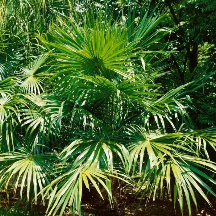 Cabbage-Tree Palm  No] 683405821656 - Flower Power