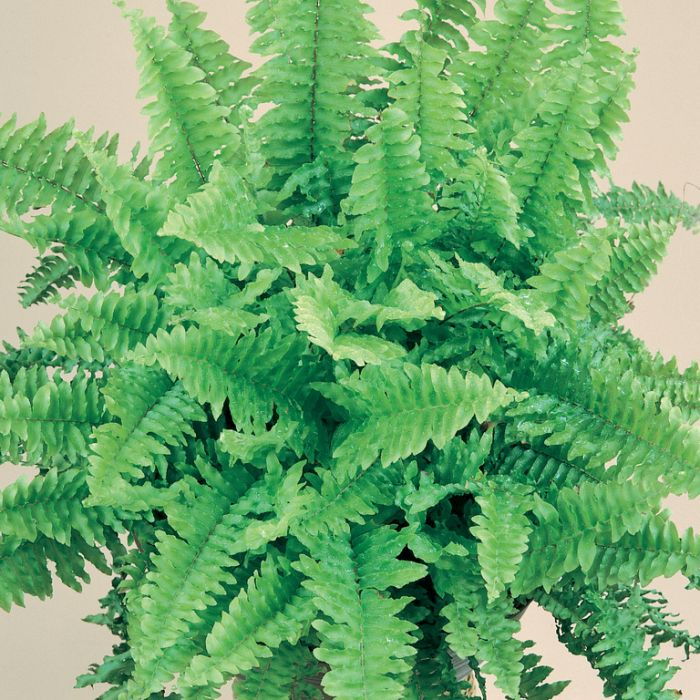 Boston Fern Fluffy Ruffles Hanging Basket  No] 683405822462 - Flower Power
