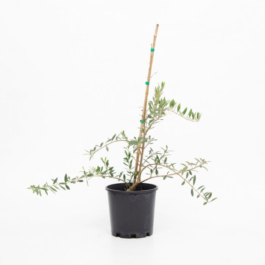 Olive Mediterranean Midget color No 683405823445