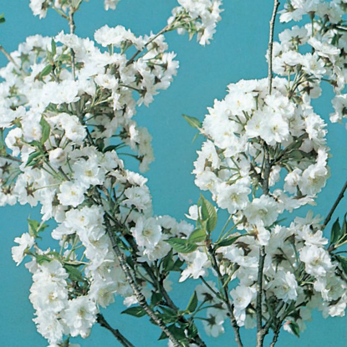 Prunus Snow Fountains Tall Std  No] 7419600400 - Flower Power