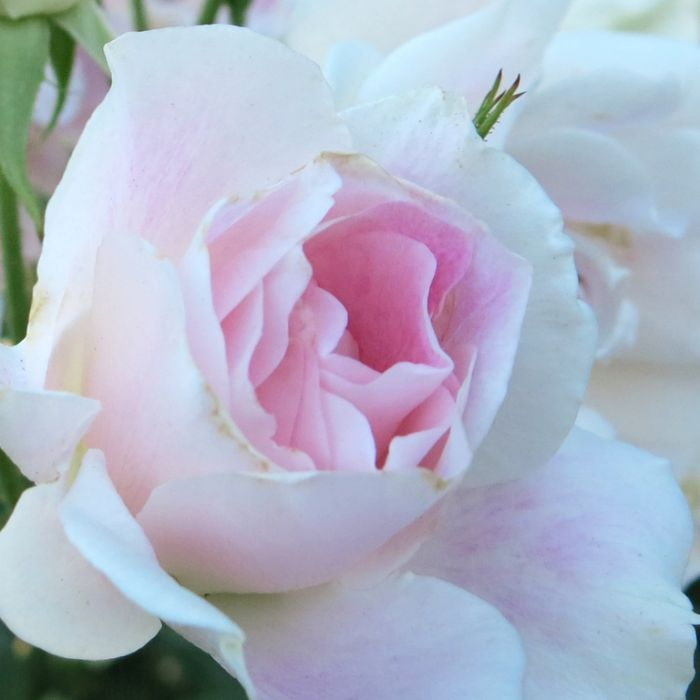 Blushing Pink Iceberg Rose color No 7702300200P